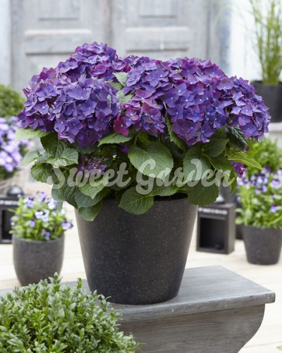 hortenzia lila hydrangea macrophylla purple sweet garden. Black Bedroom Furniture Sets. Home Design Ideas